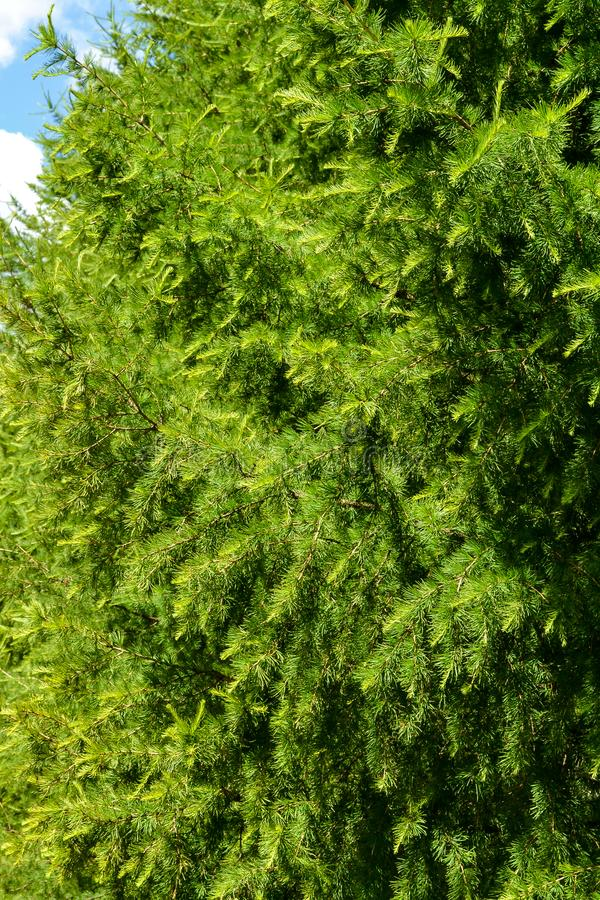 Zielona sosna rozgałęzia się zakończenie przeciw niebieskiemu niebu zdjęcie stock
