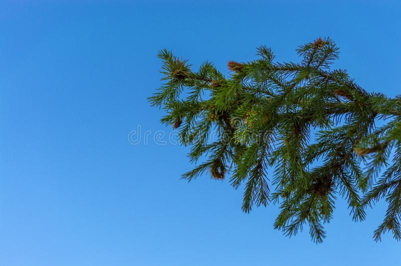 Zielona sosna rozga??zia si? przeciw niebieskiemu niebu Lato zdjęcia stock