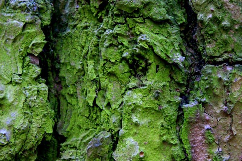 Zielona sosny gałąź drzewo obraz royalty free