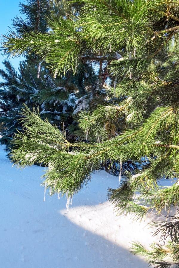 Zielona sosny gałąź w śniegu soplach i, pionowo układ zdjęcia royalty free