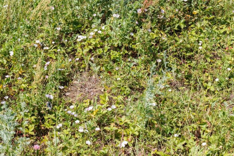 Zielona trawa bindweed, truskawki (,) obraz royalty free