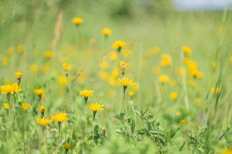 Zielona trawa i kolorów żółtych kwiaty w naturze, łąka kwiaty, skaczemy kwiecisty krajobraz obraz royalty free