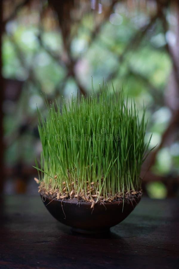 Zielona trawa na glinianym garnku z kiści wodą opuszcza zdjęcia stock
