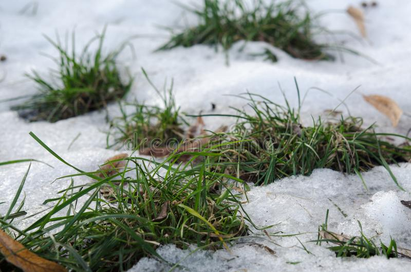 Zielona trawa na rozmarzniętej łacie Początek wiosna Powitanie, Apr fotografia stock