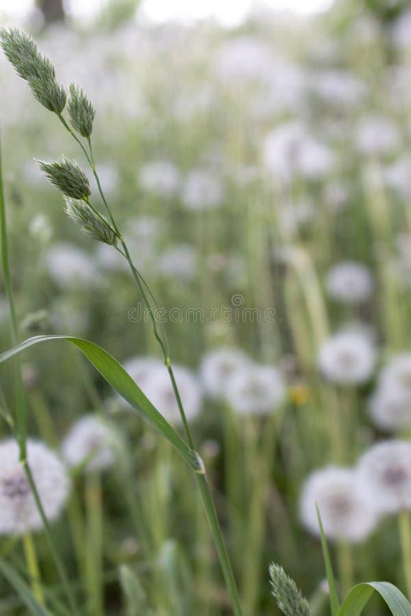 Zielona trawa na unfocused białym dandelion kwitnie tło Lata śródpolny i łąkowy pojęcie fotografia stock