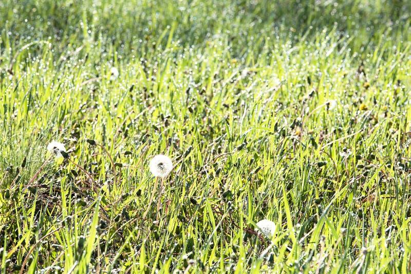 Zielona trawa pod rosy lata pogodnym rankiem fotografia royalty free