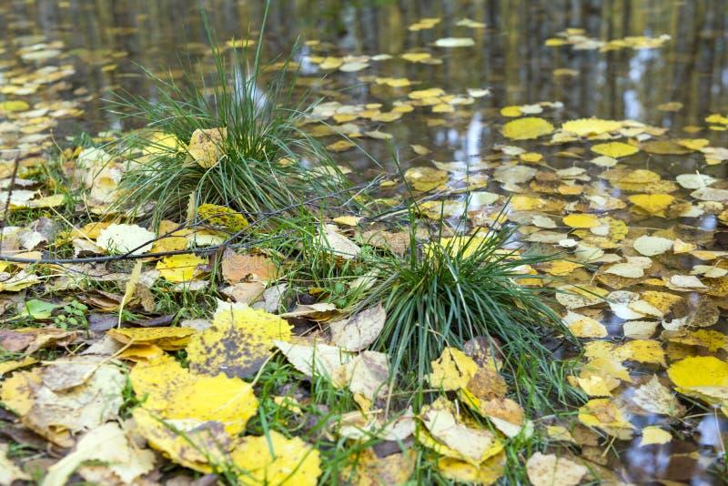 Zielona trawa wśród koloru żółtego spadać opuszcza, kałuże, jesień obrazy royalty free