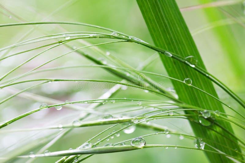 Zielona trawa w deszczu opuszcza w lato ranku obraz royalty free