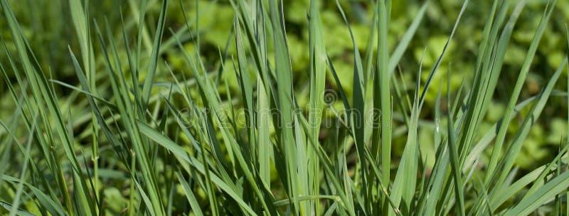Zielona trawa w pogodnym letniego dnia tle i teksturze Szczegółowy zakończenie w górę makro- jaskrawego kolorowego zasadniczego w obraz royalty free