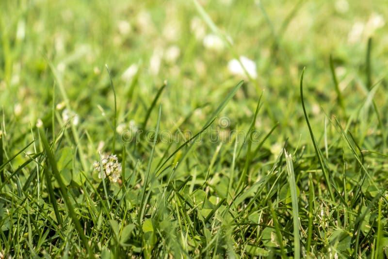 Zielona trawa z białej koniczyny okwitnięcia Trifolium repens obrazy stock