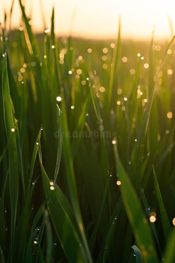 Zielona trawa z rosa kroplami przy wsch?d s?o?ca w wio?nie przeciw t?u ?wiat?o s?oneczne Pi?kno natura Zako?czenie Ostro?ci kontr obrazy royalty free