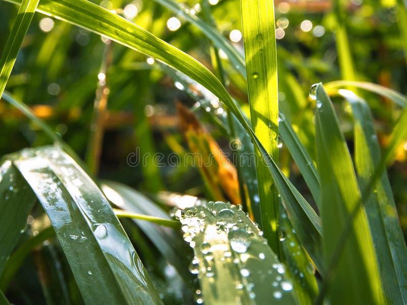 Zielona trawa z wodą opuszcza po podeszczowej selekcyjnej ostrości zdjęcie stock