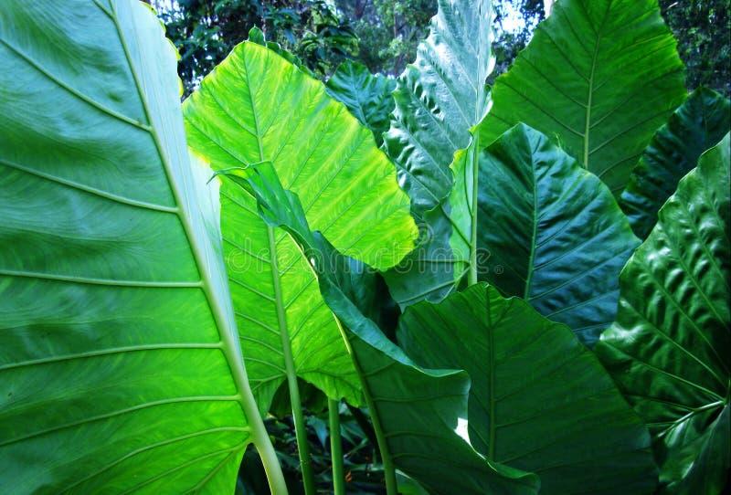 Zielona tropikalna roślina zdjęcia stock