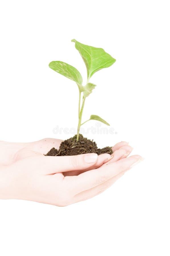 zielona uprawy roślin ręce zdjęcia royalty free