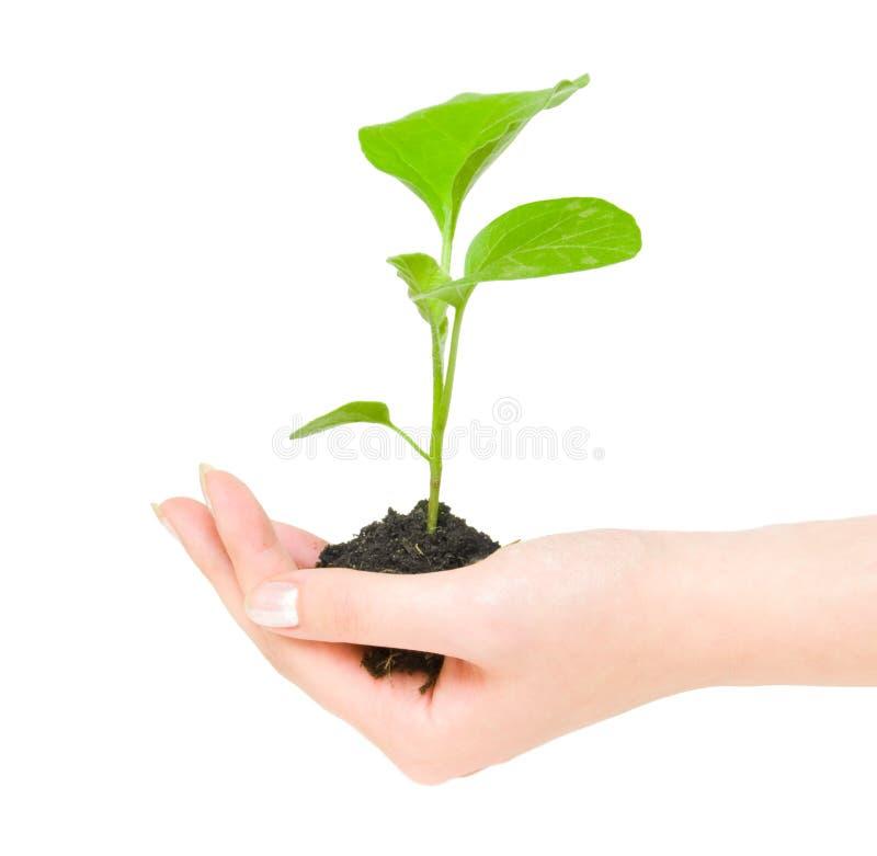 zielona uprawy roślin ręce obraz stock