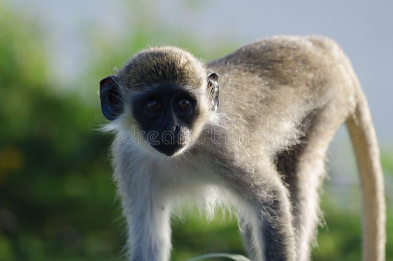 Zielona Vervet małpa (Chlorocebus pygerythrus) zdjęcie stock