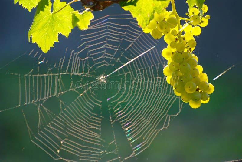 Zielona wino pająka I winogrona sieć fotografia stock