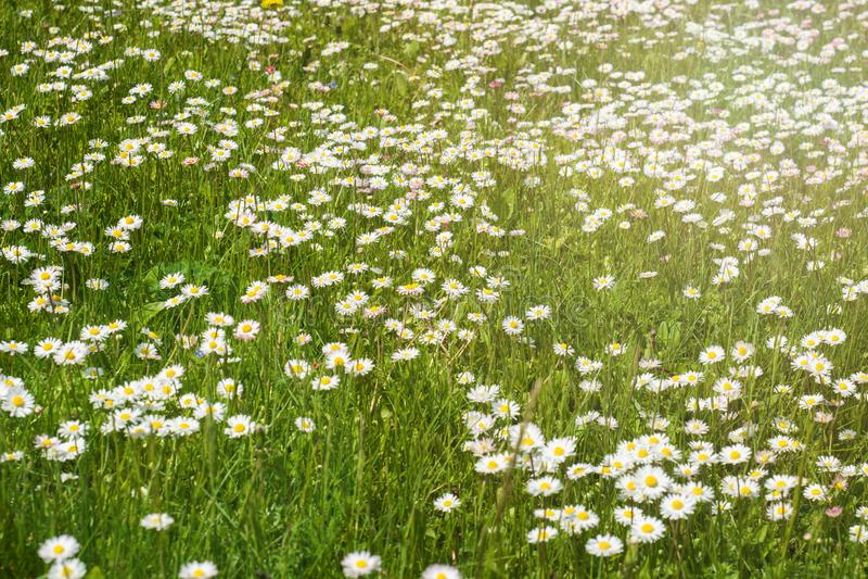 Zielona wiosny ??ka, kwitn?ce stokrotki na zielonej trawie zdjęcie royalty free