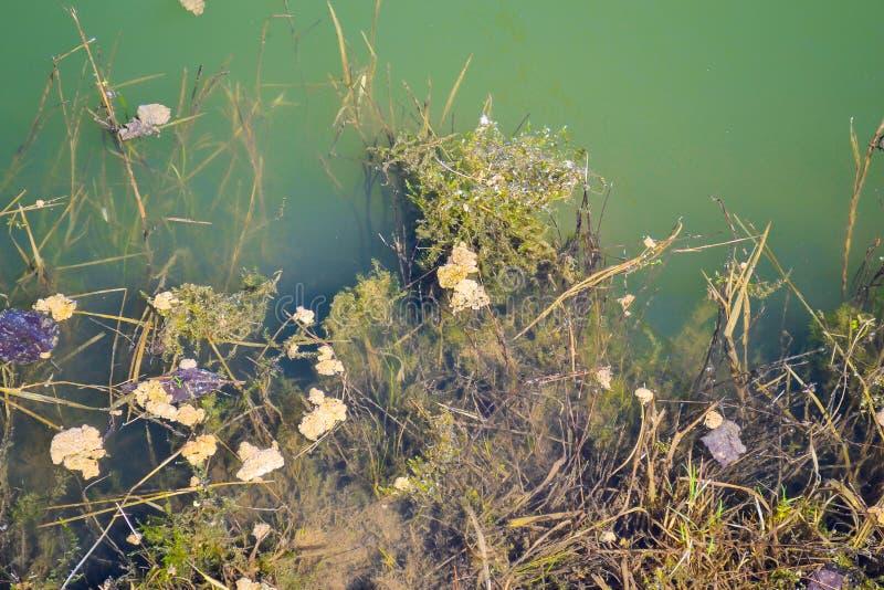 Zielona woda stary przerastający staw obrazy royalty free