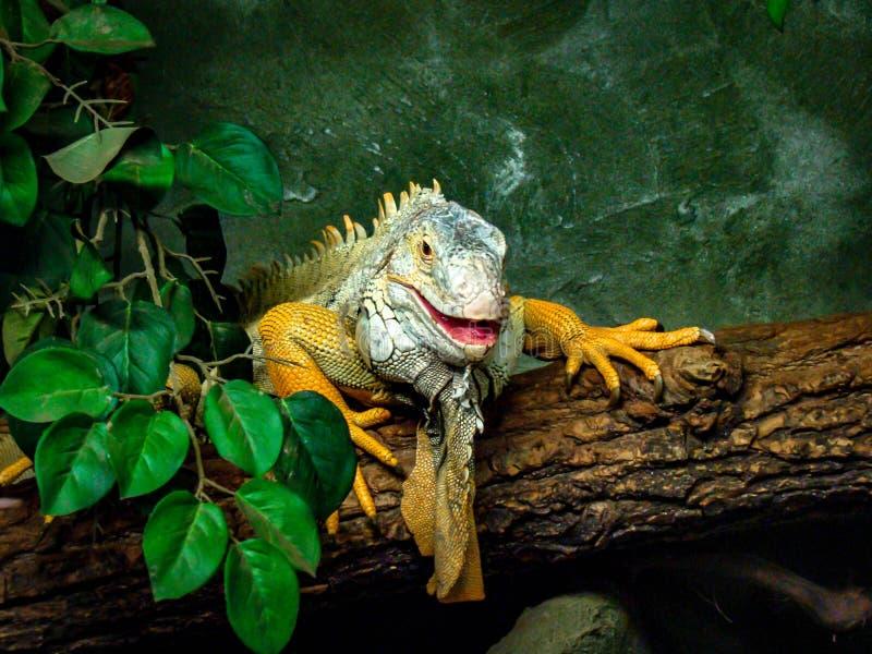 Zielona Złota iguana obraz stock