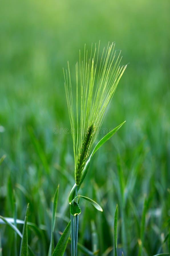 zielona ziarnista wiosny obraz royalty free