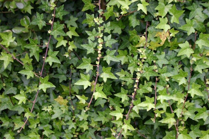 zielone bluszczy winorośli zdjęcia royalty free