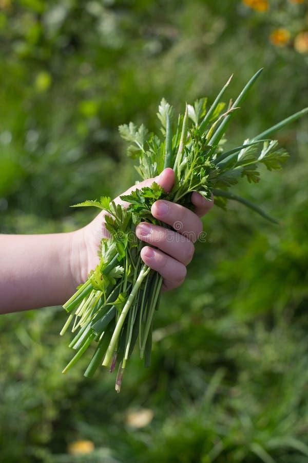 Zielone cebule, pietruszka, witaminy i właściwy odżywianie, zdjęcia royalty free