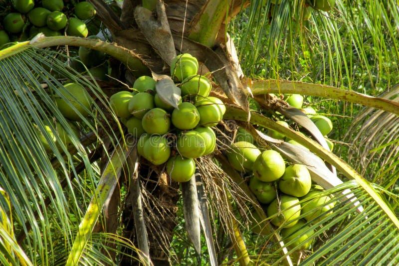 Zielone coco dokrętki r na palmie obraz stock