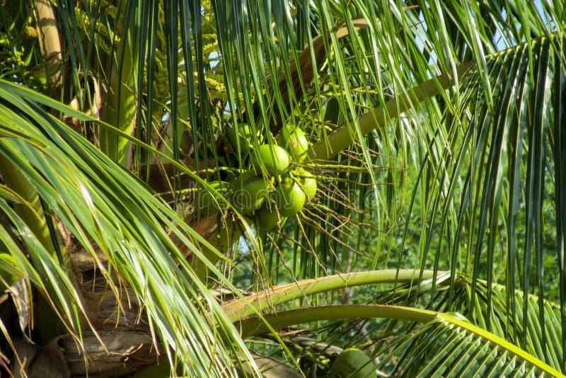 Zielone coco dokrętki r na palmie fotografia royalty free