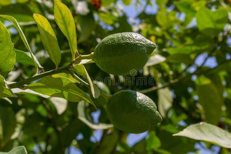 Zielone cytryny wieszają na gałąź otaczającej liśćmi Lato pogodny ranek obraz stock