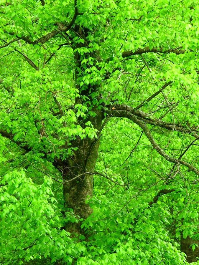 - zielone drzewa bright fotografia royalty free