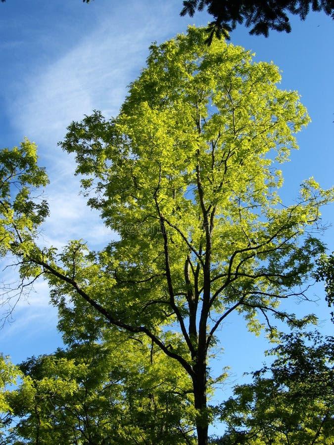 - zielone drzewa bright fotografia stock
