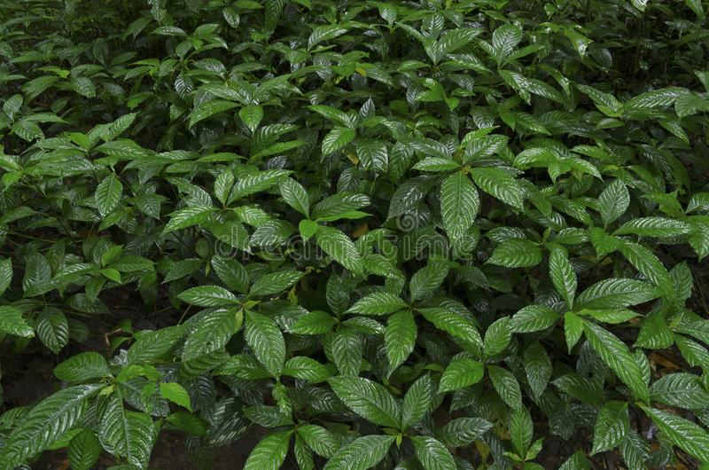 Zielone drzewo z wieloma liśćmi zdjęcia royalty free