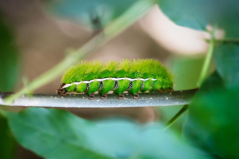 Zielone gąsienicy obraz royalty free