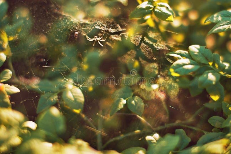 Zielone gałąź w lato słonecznym dniu z backlight, pająkiem i spiderweb, żadny ostrość, tło obrazy stock