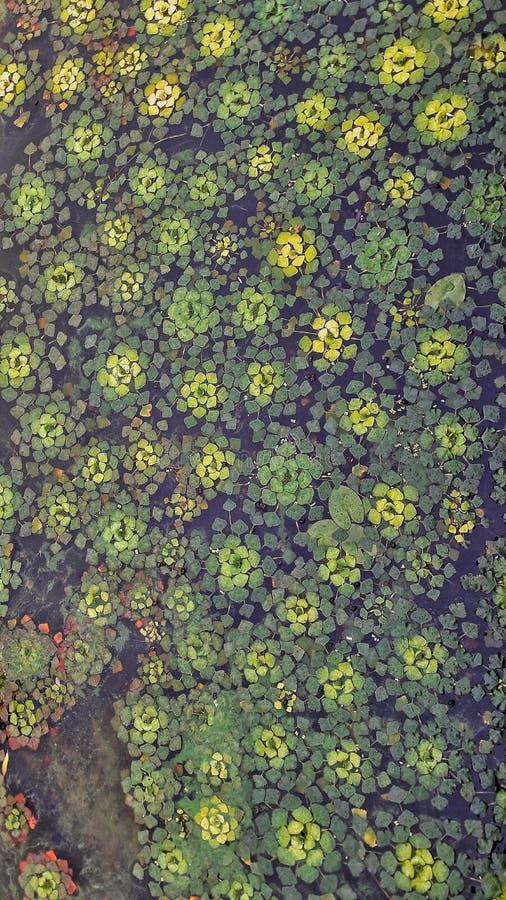 Zielone i żółte algi zdjęcia royalty free