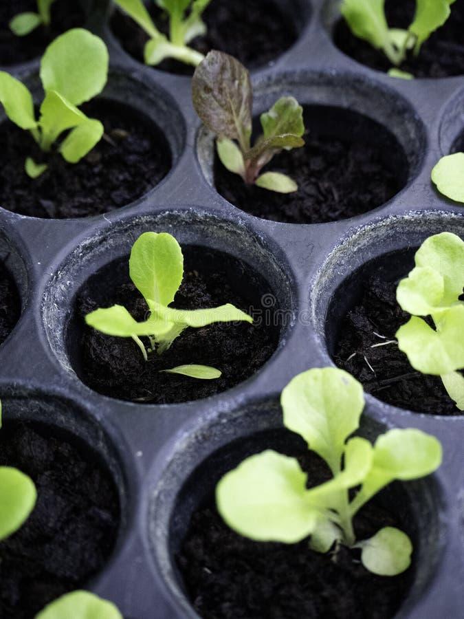Zielone i czerwone sałat rozsady ogrodnicza pepiniera zdjęcia stock