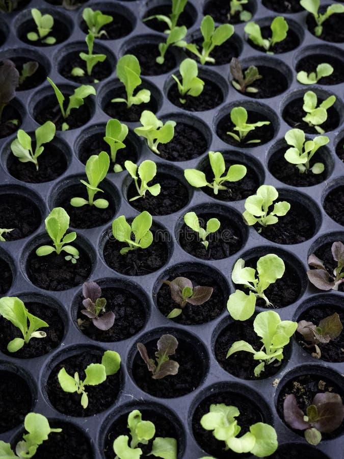Zielone i czerwone sałat rozsady ogrodnicza pepiniera fotografia royalty free