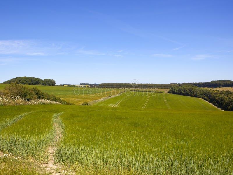Zielone jęczmienne uprawy i hedgerows w lecie fotografia stock