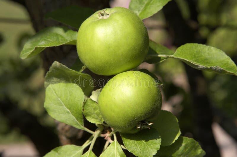 zielone jabłka dwa obrazy royalty free