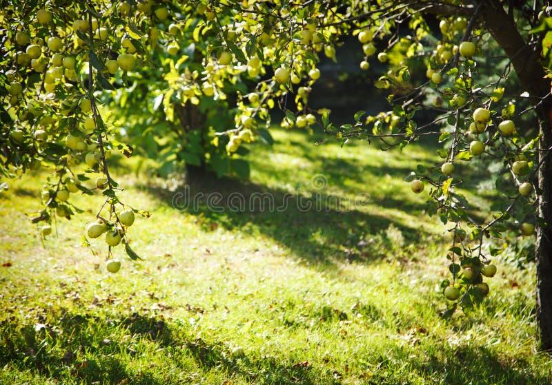 Zielone jabłka na drzewie fotografia royalty free