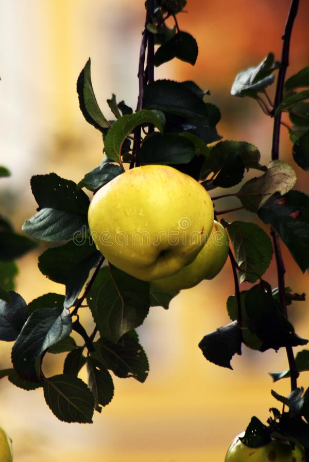 Zielone jabłka na drzewie obraz stock