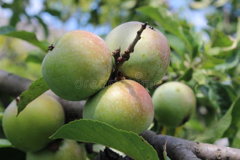 Zielone jabłka w ogrodzie zdjęcie royalty free
