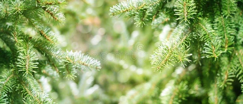 Zielone jodeł gałąź fotografia royalty free