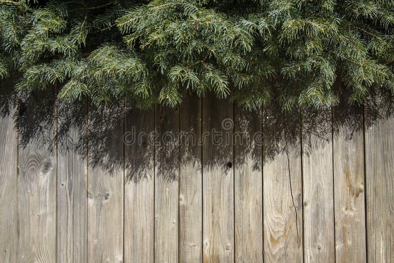 Zielone jodeł gałąź i drewniana ściana zdjęcia royalty free