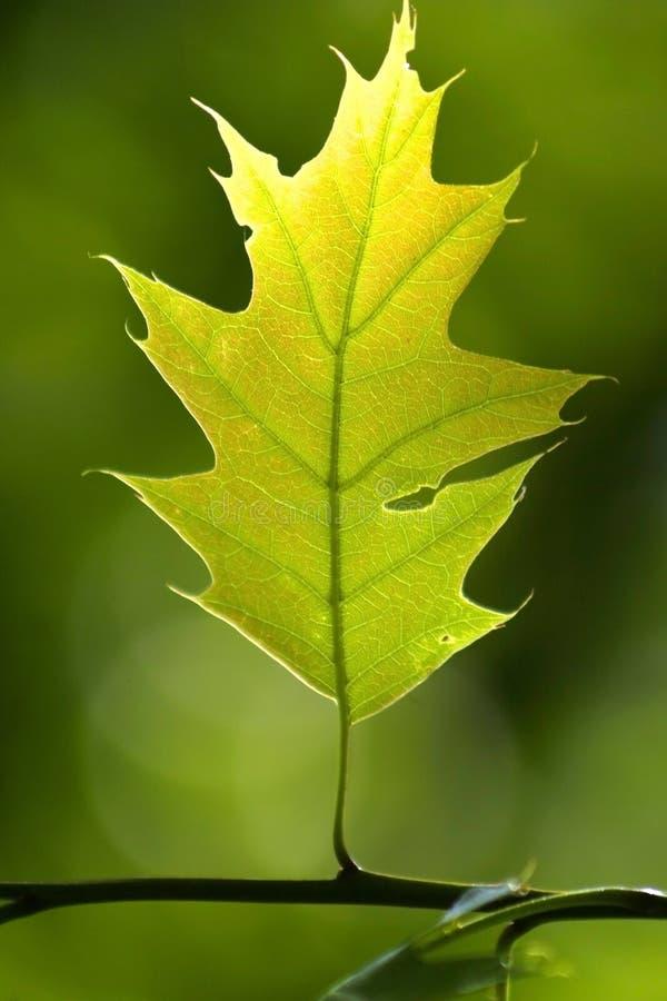- zielone liści bright fotografia royalty free