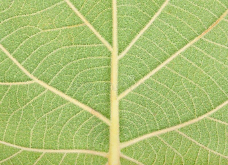 - zielone liści bright obraz royalty free
