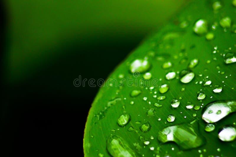 zielone liści kropli wody zdjęcia royalty free