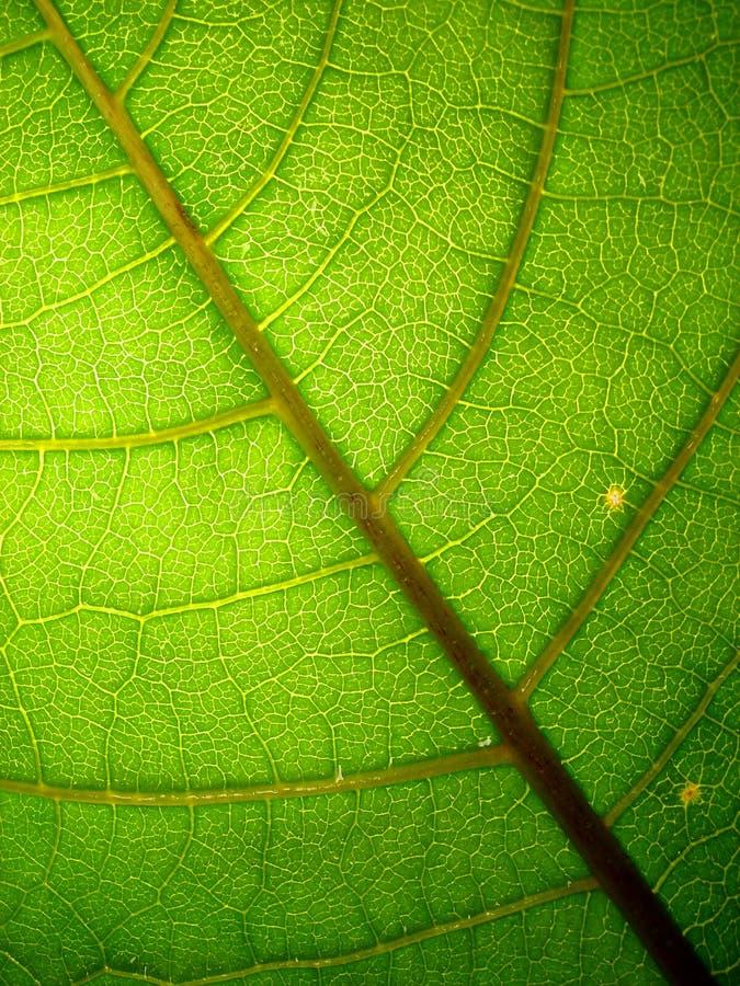 zielone liści makro veiny zdjęcia stock