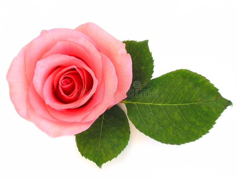 zielone liści różową różę występować samodzielnie zdjęcie royalty free
